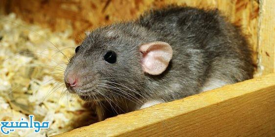 تفسير حلم الفار الفئران في المنام