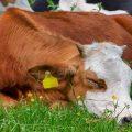 تفسير حلم رؤية البقر الميت