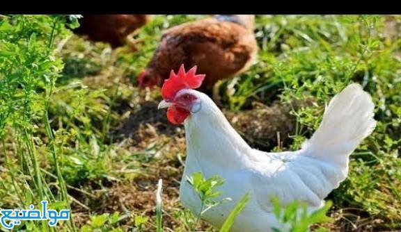 تفسير حلم رؤية الدجاج الميت في المنام