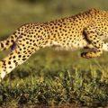 تفسير حلم رؤية الفهد