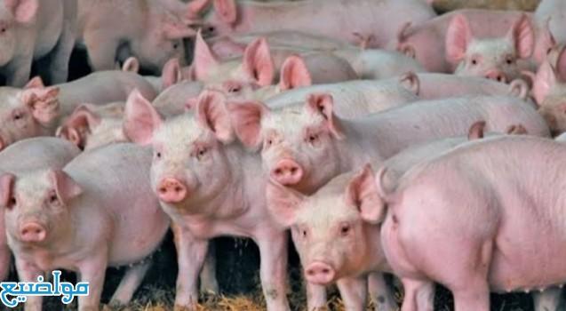 رؤية الخنزير في الحلم تفسير حلم الخنزير في المنام