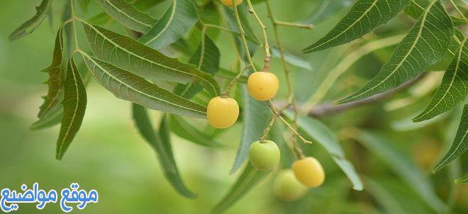 فوائد شجرة النيم للشعر والبشرة