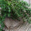 فوائد الزعتر البري للشعر الخفيف