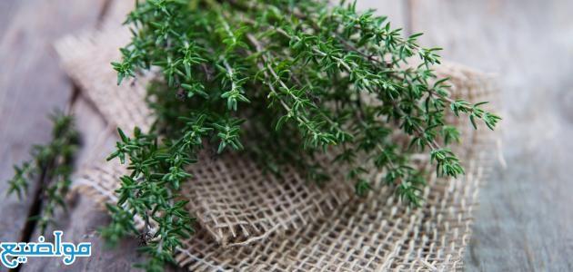 فوائد الزعتر البري للشعر الخفيف والجاف وطريقة استخدامة